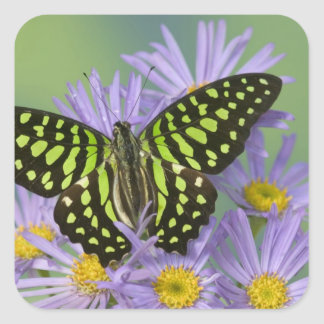 Fotografía de Sammamish Washington de la mariposa Pegatina Cuadrada