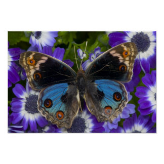 Fotografía de Sammamish Washington de la mariposa  Póster