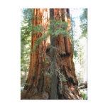 Fotografía del árbol de la secoya gigante impresión en lienzo estirada