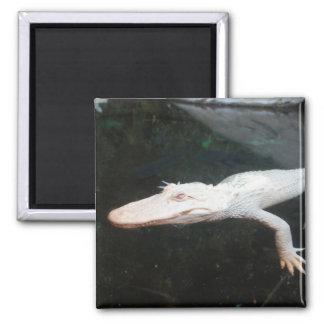 Fotografía del color del cocodrilo del albino de l imán cuadrado