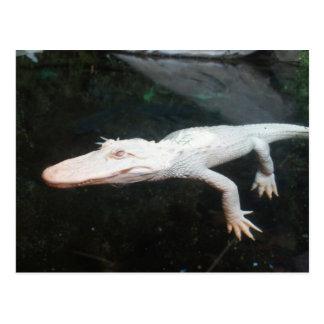 Fotografía del color del cocodrilo del albino de postal