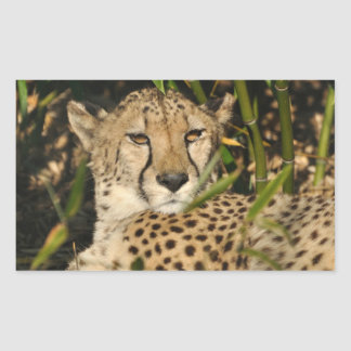 Fotografía del guepardo rectangular pegatinas