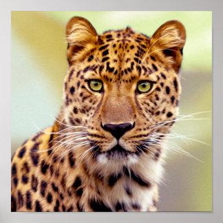Fotografía del leopardo póster