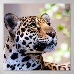 Fotografía del leopardo posters
