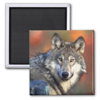 Fotografía del lobo imán cuadrado