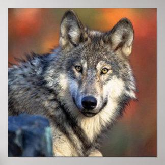Fotografía del lobo póster