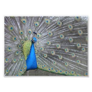 Fotografía del pavo real