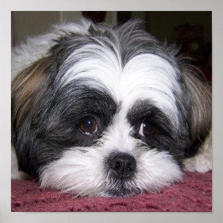 Fotografía del perro de Shih Tzu Poster