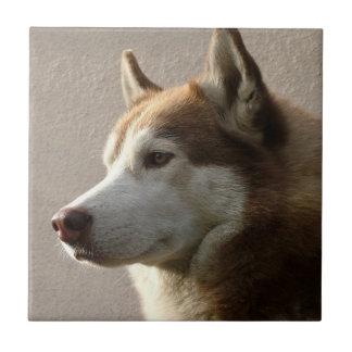 Fotografía del perro del Malamute de Alaska Azulejo Cuadrado Pequeño