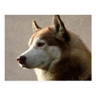 Fotografía del perro del Malamute de Alaska Postal