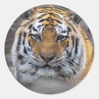 Fotografía del tigre siberiano pegatina redonda