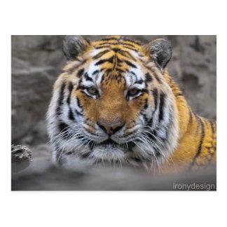 Fotografía del tigre siberiano postal
