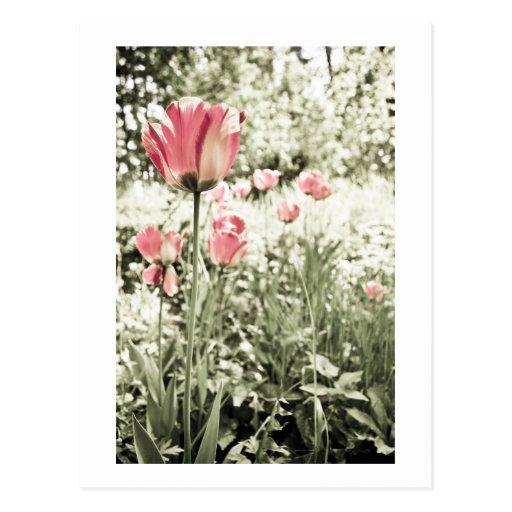 Fotografía del tulipán postales