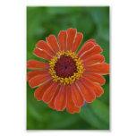 Fotografía floral de Zinna del flor anaranjado de  Arte Con Fotos