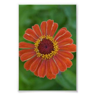 Fotografía floral de Zinna del flor anaranjado de