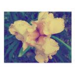 Fotografía floral del vintage del narciso postal