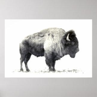 Fotografía histórica del bisonte americano póster