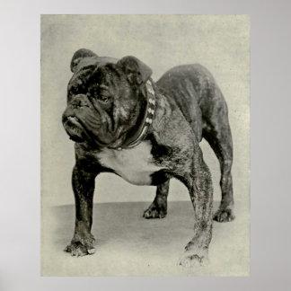 Fotografía inglesa del dogo del vintage póster
