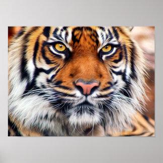 Fotografía masculina de la pintura del tigre siber póster