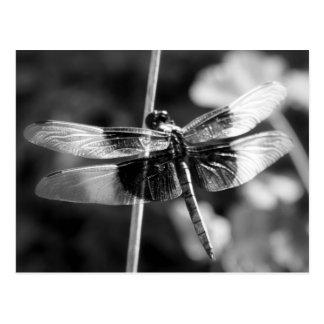 Fotografía negra y blanca de la libélula de la postal