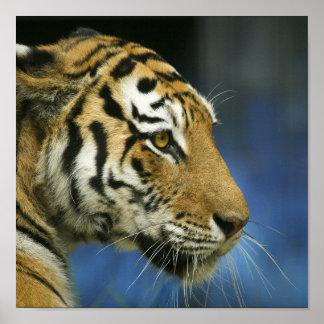 Fotografía oblicua del primer del tigre poster