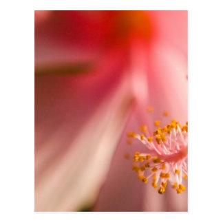Fotografía rosada de la macro del estambre de la postal