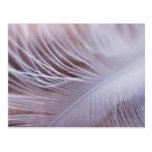 Fotografía suave de la macro de la pluma blanca tarjetas postales