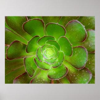 Fotografía suculenta verde radiante de la macro de póster