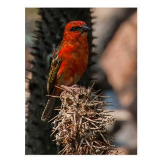 Foudy rojo (Foudia Madagascariensis) Tarjetas Postales