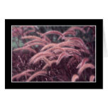 Fountain Grass Cards