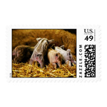 Four Baby Piglet Mangalitsa Hogs Showing Butts Postage