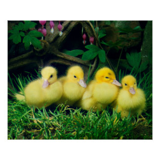 four beautiful duck chickens in the grass, poster