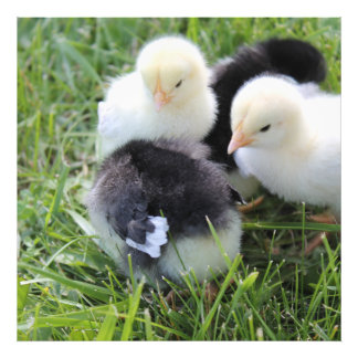 Four Black and Yellow Baby Chicken chicks Photo Print