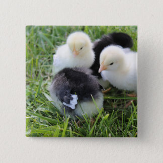 Four Black and Yellow Baby Chicken chicks Pinback Button