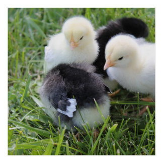 Four Black and Yellow Baby Chicken chicks Poster