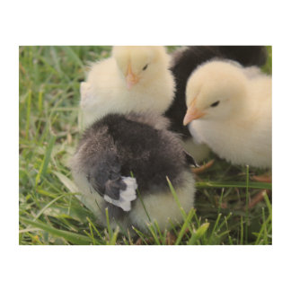 Four Black and Yellow Baby Chicken chicks Wood Wall Art