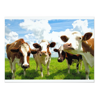 Four chatting cows card