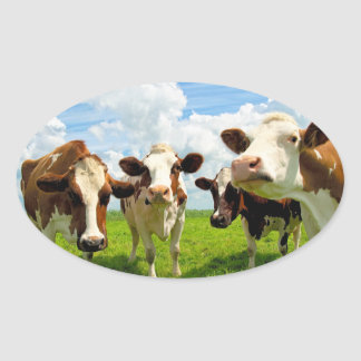 Four chatting cows. oval sticker