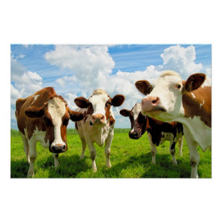 Four chatting cows - Poster