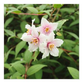 Four Deutzia Discolor Flowers Photo Print