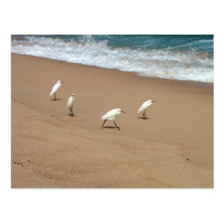 Four Egrets Postcard