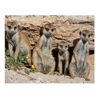 four funny or suricate, Kalahari meerkat Postcard
