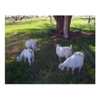 Four Goats Postcard