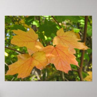 Four Golden Maple Leaves Poster