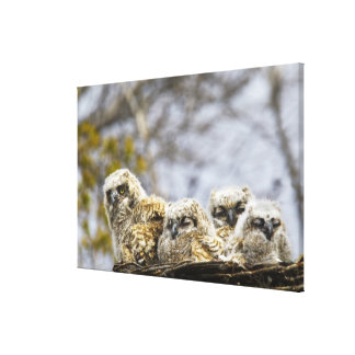 Four Great Horned Owl (Bubo Virginianus) Chicks Canvas Print