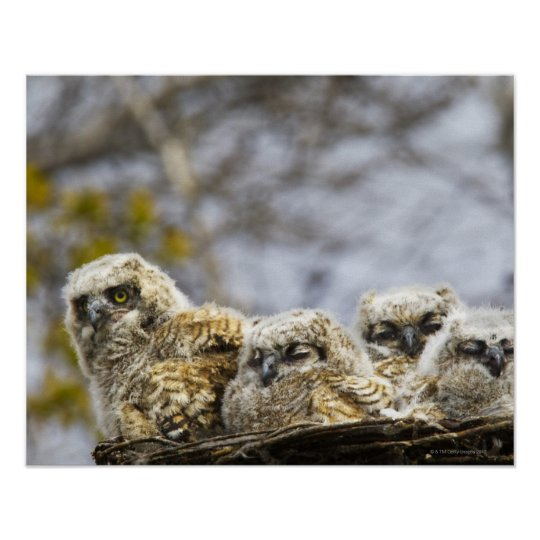 Four Great Horned Owl (Bubo Virginianus) Chicks Poster