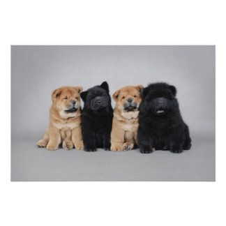 Four little Chow chow puppies Poster