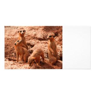 four meerkats looking around animal wild cute photo card
