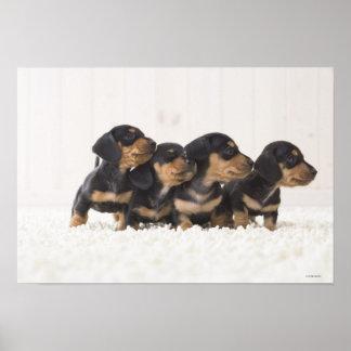 Four Mini Dachshund Poster