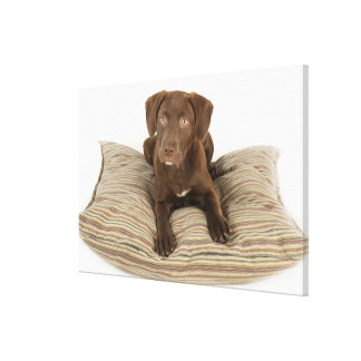 Four-Month-Old Chocolate Lab Puppy on Pillow Canvas Print